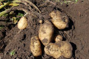 Aardappelareaal