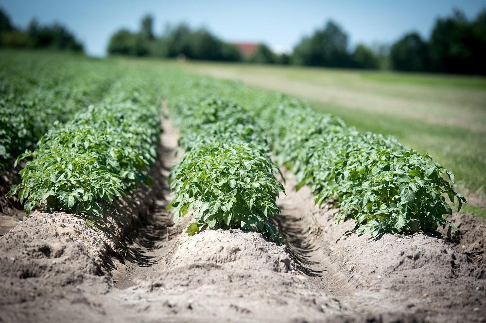 Aardappelareaal in Vlaanderen neemt een forse duik