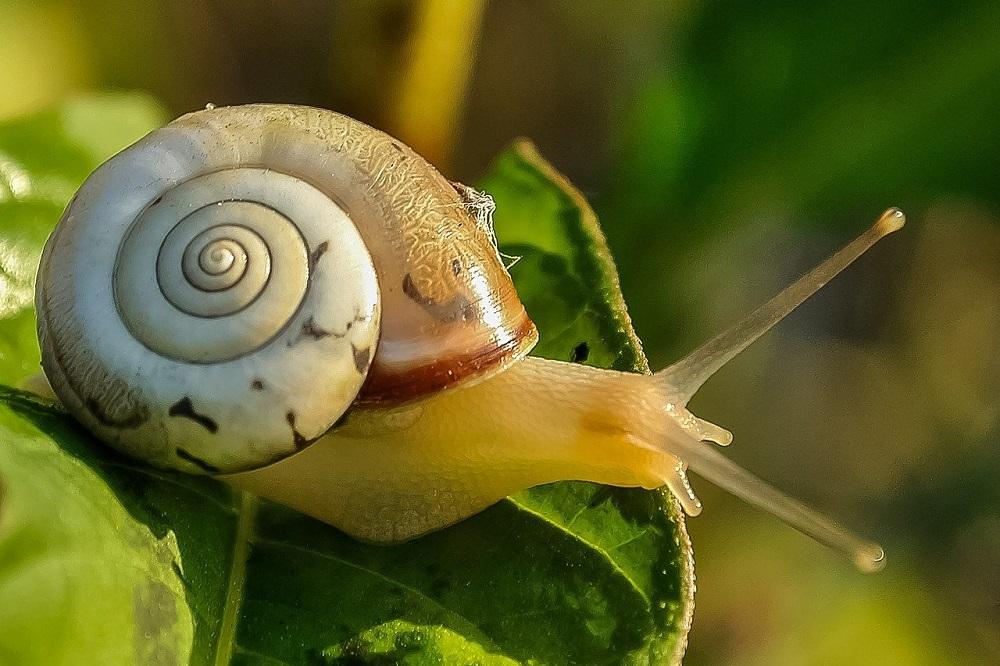 IRS Wees alert op slakkenschade bij vochtig weer