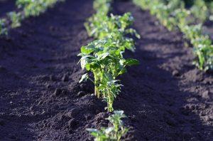 Patent innovatieve plantenveredeling voor verduurzaming van de landbouw