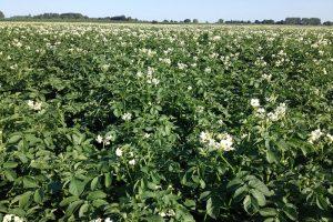 Proefresultaten: bladbemesting met fosfaat verhoogt opbrengst