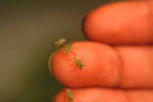 Hoe bestrijd ik bladluizen biologisch?