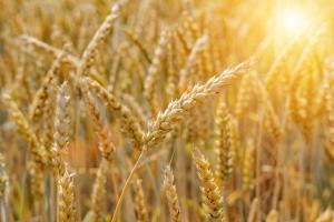 Eerste oogst biobaktarwe van Belgisch ketenproject is een succes